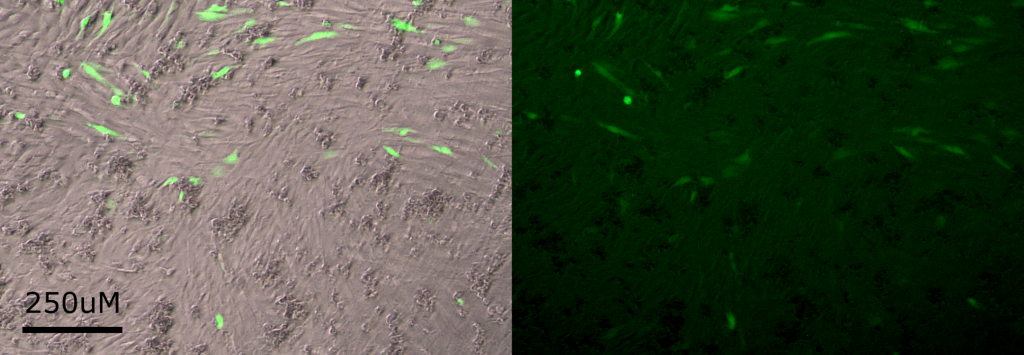 An image of C2C12 cells in culture, some of which express EGFP due to transfection