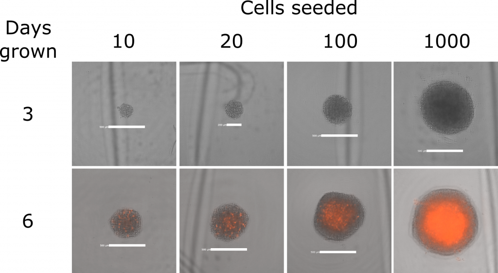 Brightfield images with red fluorescence overlaid (propidium iodide indicating cell death) of single DIPG spheres.