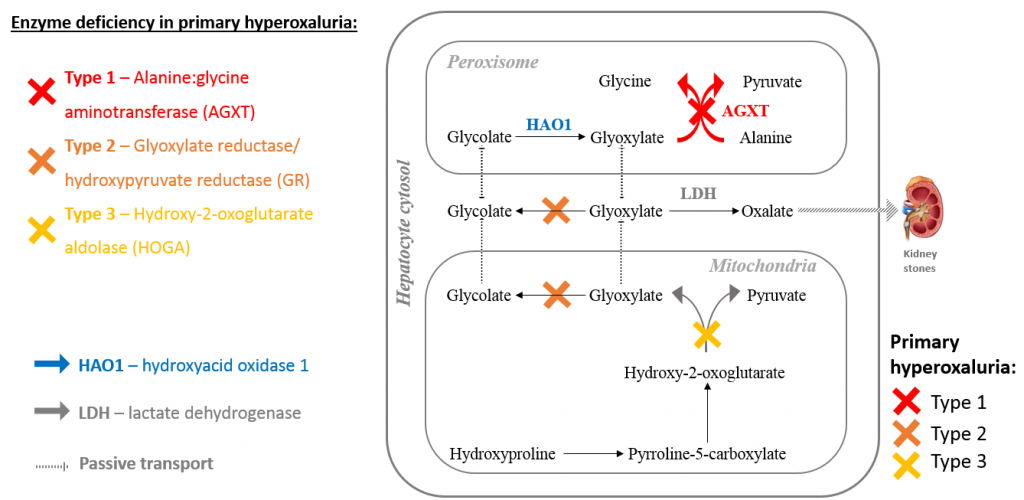 Project overview: Inhibition of HAO1 to treat primary hyperoxaluria type 1  – openlabnotebooks.org